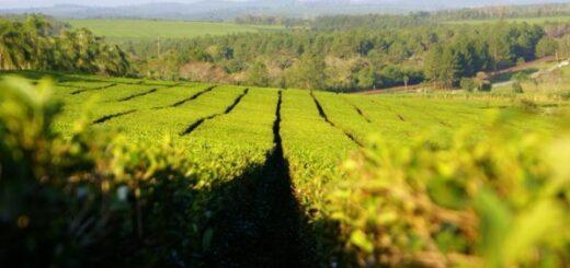 Productores de té recibieron créditos por 10 millones de pesos destinados a prefinanciar exportaciones
