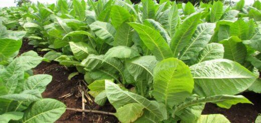 El martes 15 de diciembre pagan a productores tabacaleros la Caja Verde a 36 pesos por kilo con fondos del FET