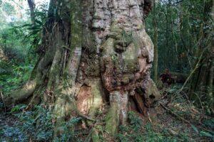 Yabotí: el fuego dañó áreas de la reserva de Papel Misionero, el remanente más grande de monte primario del Bosque Atlántico y uno de los ecosistemas clave de Sudamérica
