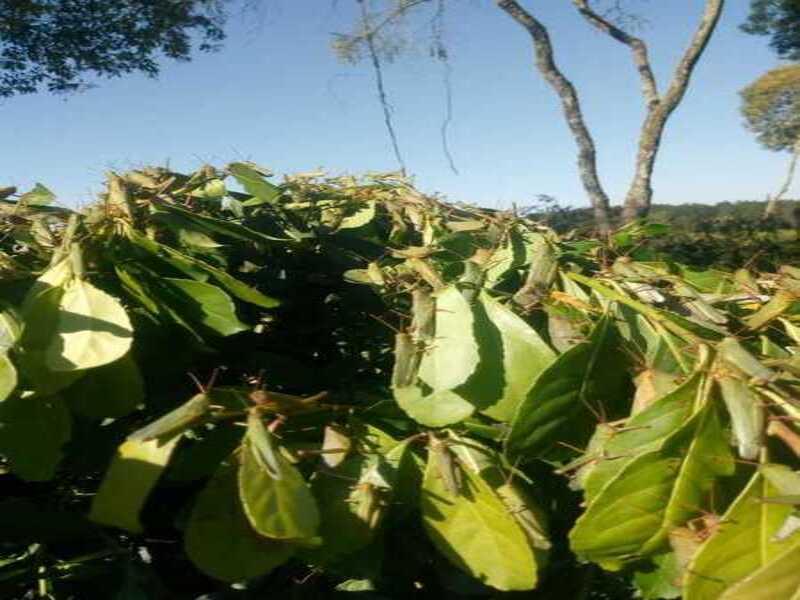 Alerta por una invasión de langostas en un yerbal en Campo Viera