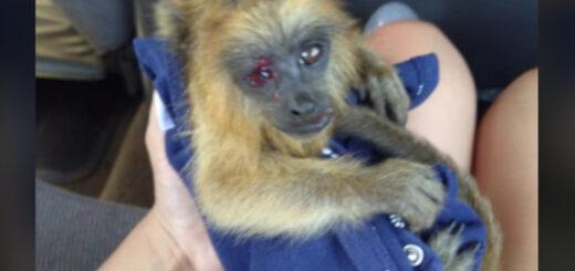 dos monos carayá fueron atropellados