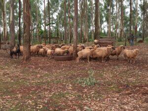 El monitoreo sanitario de carneros se completó en un 85% y se extendió a productores de Cerro Azul y Andrade