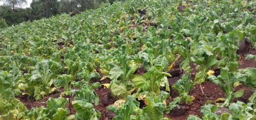 Intenso temporal de lluvia, viento y granizo afectó esta madrugada la producción de tabaco en San Vicente