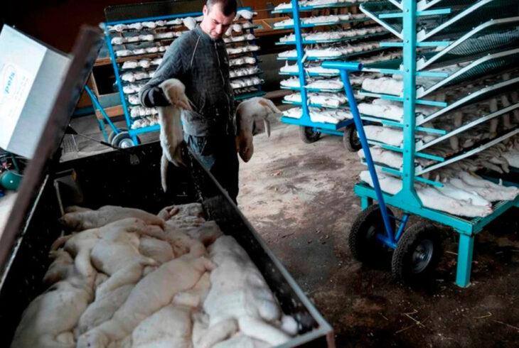 Renunció el ministro de Agricultura danés por el sacrificio de toda la población de visones