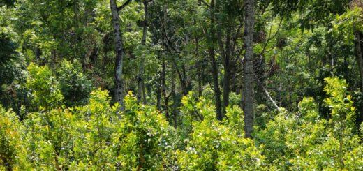 """""""La yerba mate combinada con árboles nativos es más resistente a la sequía"""""""