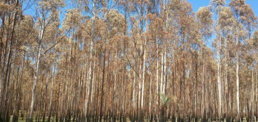 Entre Ríos: Cómo la sequía y calor pueden afectar las forestaciones este verano