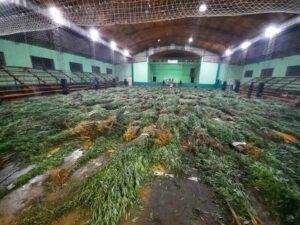 Las plantas de marihuana incautadas en el paraje Inter de Dos Hermanas pesaron más de 3.900 kilogramos