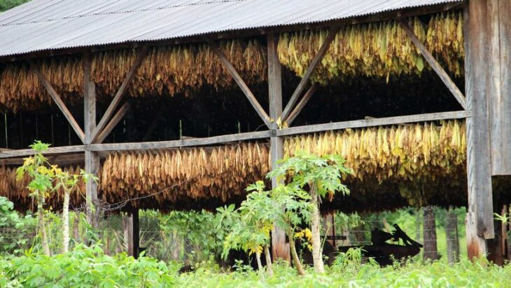 La Dirección de Tabaco evaluó que la sequía y las heladas tuvieron un fuerte impacto en la producción en la provincia