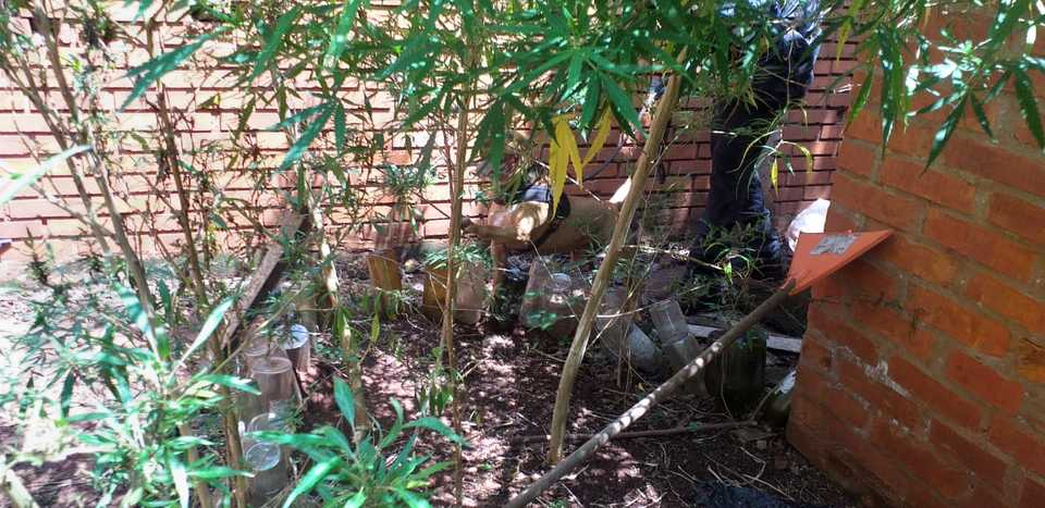 Iguazú: la Policía Federal secuestró plantas de marihuana en un allanamiento