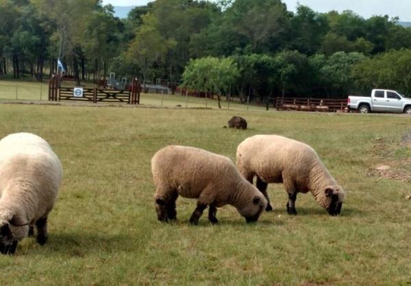 Con 200 cabezas se realizará en febrero el primer remate de ovinos de productores totalmente misioneros