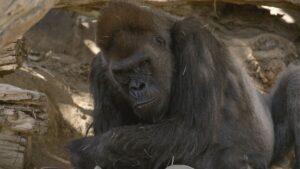 Un grupo de gorilas en un zoológico de California se contagió de COVID-19