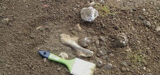 Ciencia: hallan restos fósiles de un dinosaurio herbívoro de 100 millones de años en Neuquén