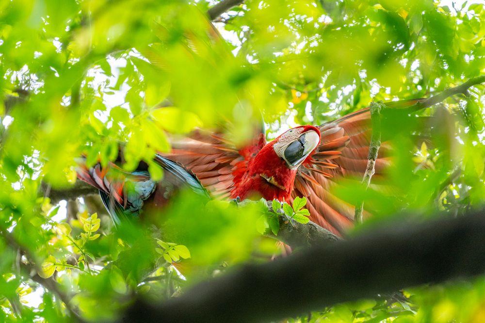Corrientes: los primeros pichones de guacamayo rojo nacidos en el Parque Nacional Iberá ya vuelan por los cielos