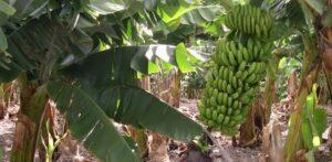 produccion de bananas en Misiones