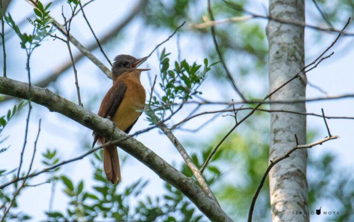 Burlisto Cabeza Gris, una especie migratoria del Bosque Atlántico, fue avistada en la Reserva Guaraní de la UNaM