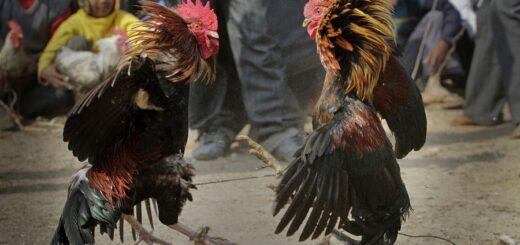 Un gallo mató a su dueño tras una pelea ilegal en la India