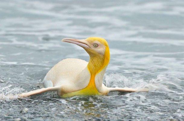 Un fotógrafo logró capturar por primera vez un pingüino amarillo