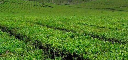 Productores de té de Leandro N. Alem se asocian para lograr la certificación del producto