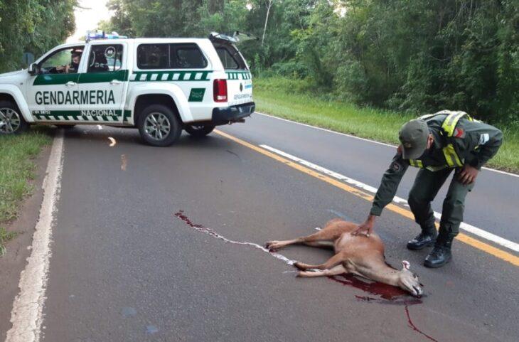Atropellaron a un venado en la zona del Parque Nacional Iguazú