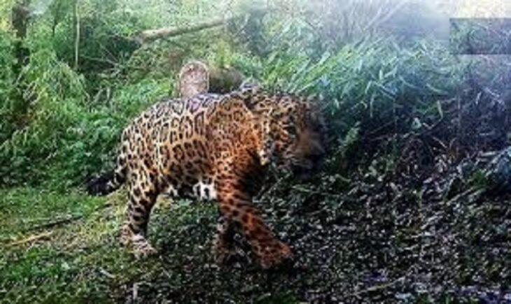 Continúan instalando cámaras trampas para seguimiento de animales y cazadores furtivos