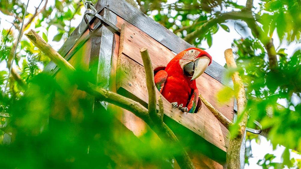 Vuelan en Corrientes guacamayos rojos: una especie que había desaparecido hace más de 170 años en esa provincia