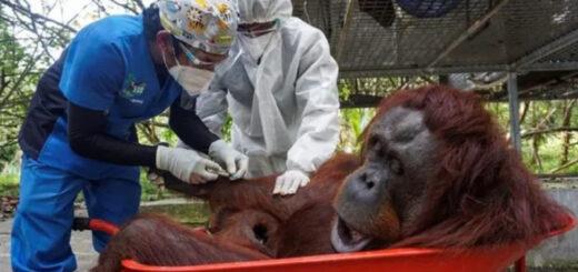 primeros animales en recibir vacuna contra el Covid-19