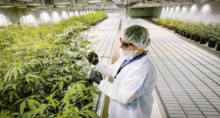 Biofábrica Misiones comenzó la instalación de invernaderos para plantas de cáñamo destinadas a la producción de aceite de cannabis medicinal