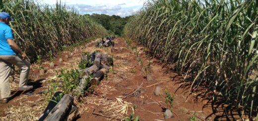 San Pedro: un viejo potrero será transformado en yerbal sustentable
