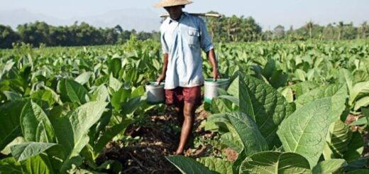 Aún no hay acuerdo para definir el precio del tabaco y desde COTAVI esperan que alcance alrededor de 150 pesos por kilo