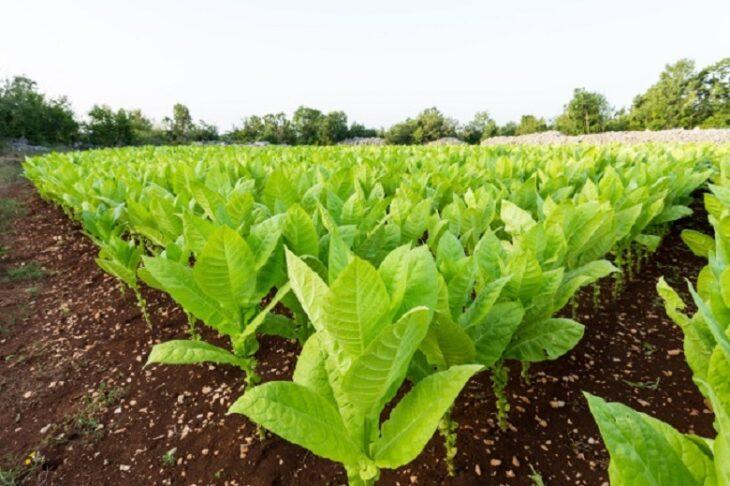 En el Ministerio del Agro y la Producción de Misiones valoraron el aumento del 44% en el precio acordado para el tabaco