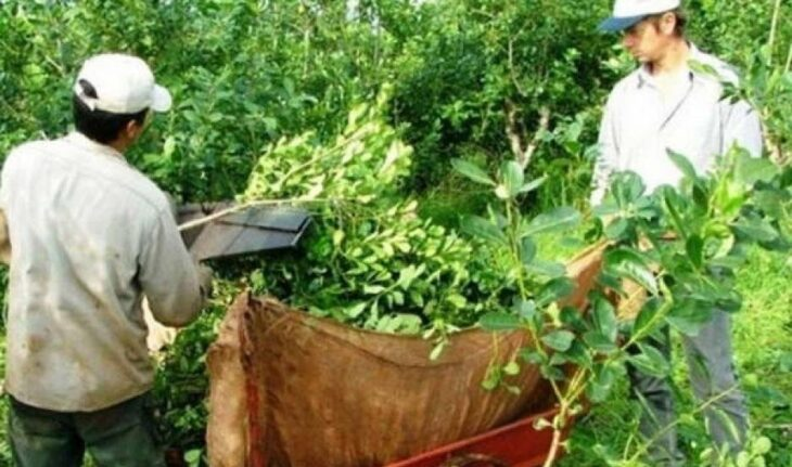 El INYM continúa buscando definir el precio de la hoja verde y canchada