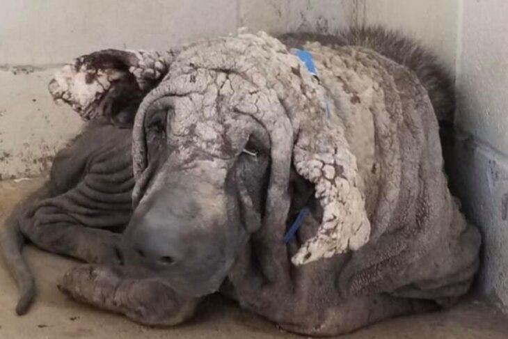 """La conmovedora transformación de un perro rescatado que """"parecía una piedra"""""""