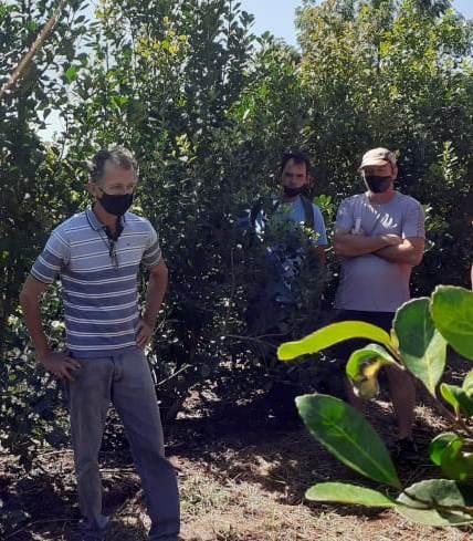 Con la técnica de rama madura, que promueve el INYM, el productor Drebel incrementó 50 por ciento el rendimiento del yerbal