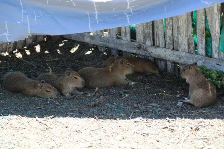 Corrientes: fueron liberados en el Iberá los carpinchos que habían sido encontrados en cautiverio