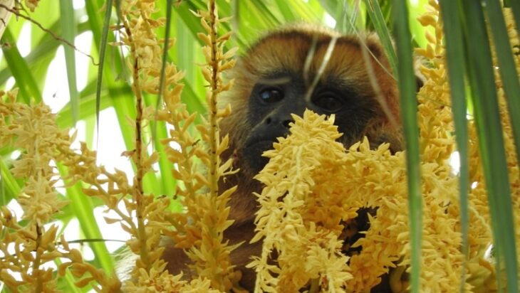 Intentan capturar de forma segura a un mono carayá que deambula por la Chacra 150 de Posadas