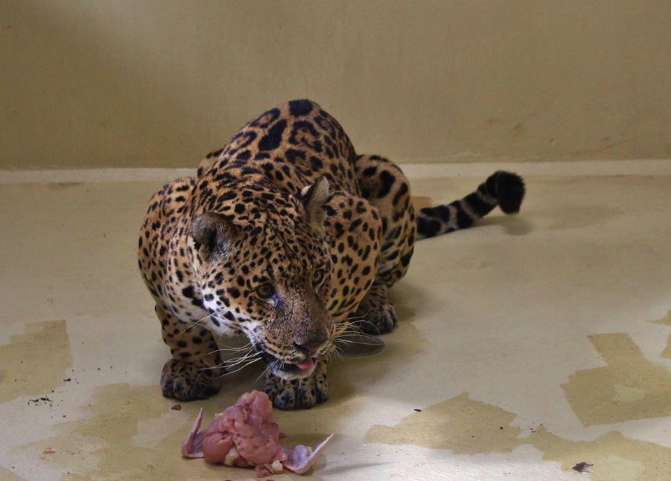 Murió Nahuel, el yaguareté que fue pionero en el proyecto de reintroducción de su especie en los Esteros del Iberá