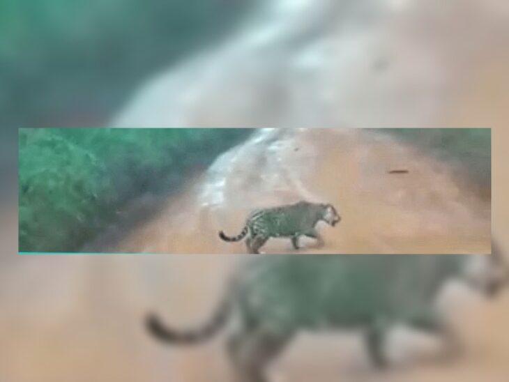 Un yaguareté fue filmado en un camino cercano a Puerto Iguazú