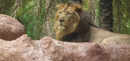 India: ocho leones dieron positivo de coronavirus