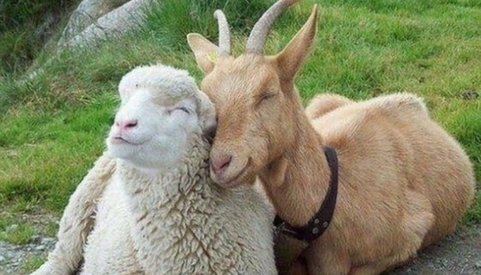 sector ovino