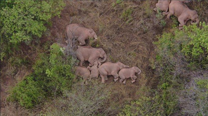 China: la migración de elefantes en Yunnan desencadena un debate sobre las políticas globales de conservación