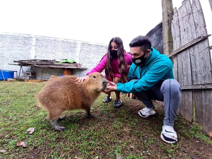 Buenos Aires: liberaron un ejemplar de carpincho que fue entregado de manera voluntaria por una familia que la tenía como mascota