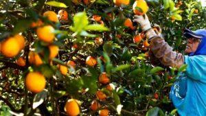 Se extendió la vigencia de la emergencia económica en el sector citrícola