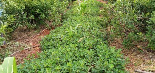 Se multiplican las cubiertas verdes para mantener y aumentar los suelos fértiles, con el apoyo del INYM