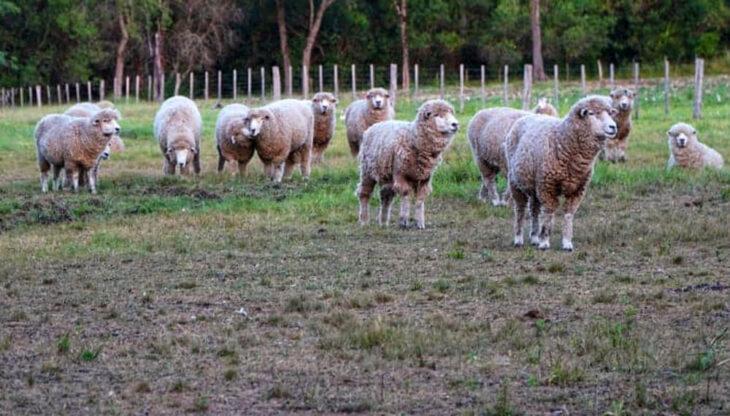 El sector ovino espera la definición legal en torno al presupuesto para el sector