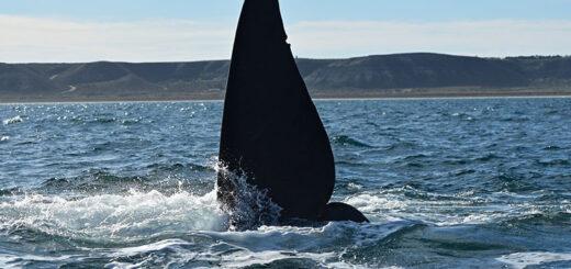 Chubut: las ballenas, protagonistas en Puerto Madryn