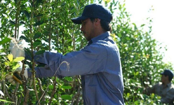 Yerba mate: dirigente yerbatero de Misiones advierte que crece el consumo, pero no la oferta