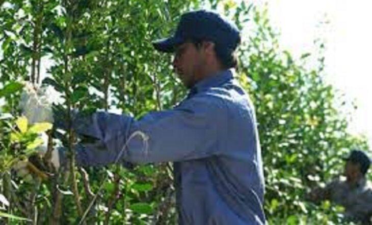 """La limitación de nuevas plantaciones de yerba """"vino de forma  esperanzadora"""", afirman desde asociación de productores del Alto Uruguay"""