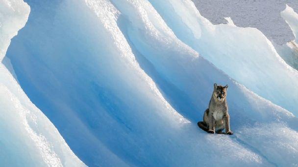 La increíble foto de un puma sobre un iceberg en el Parque Nacional Los Glaciares