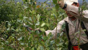 Misiones sumó 10 mil hectáreasde plantaciones de Yerba Mate