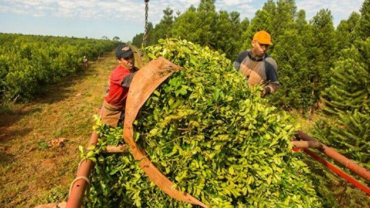 Limitación en las plantaciones de yerba mate: el sector molinero reiteró su malestar por la medida